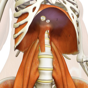 standing_psoas_diaphragm_closer