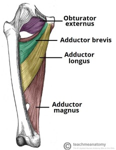 Muscles-of-the-Medial-Thigh-Hip-Adductors